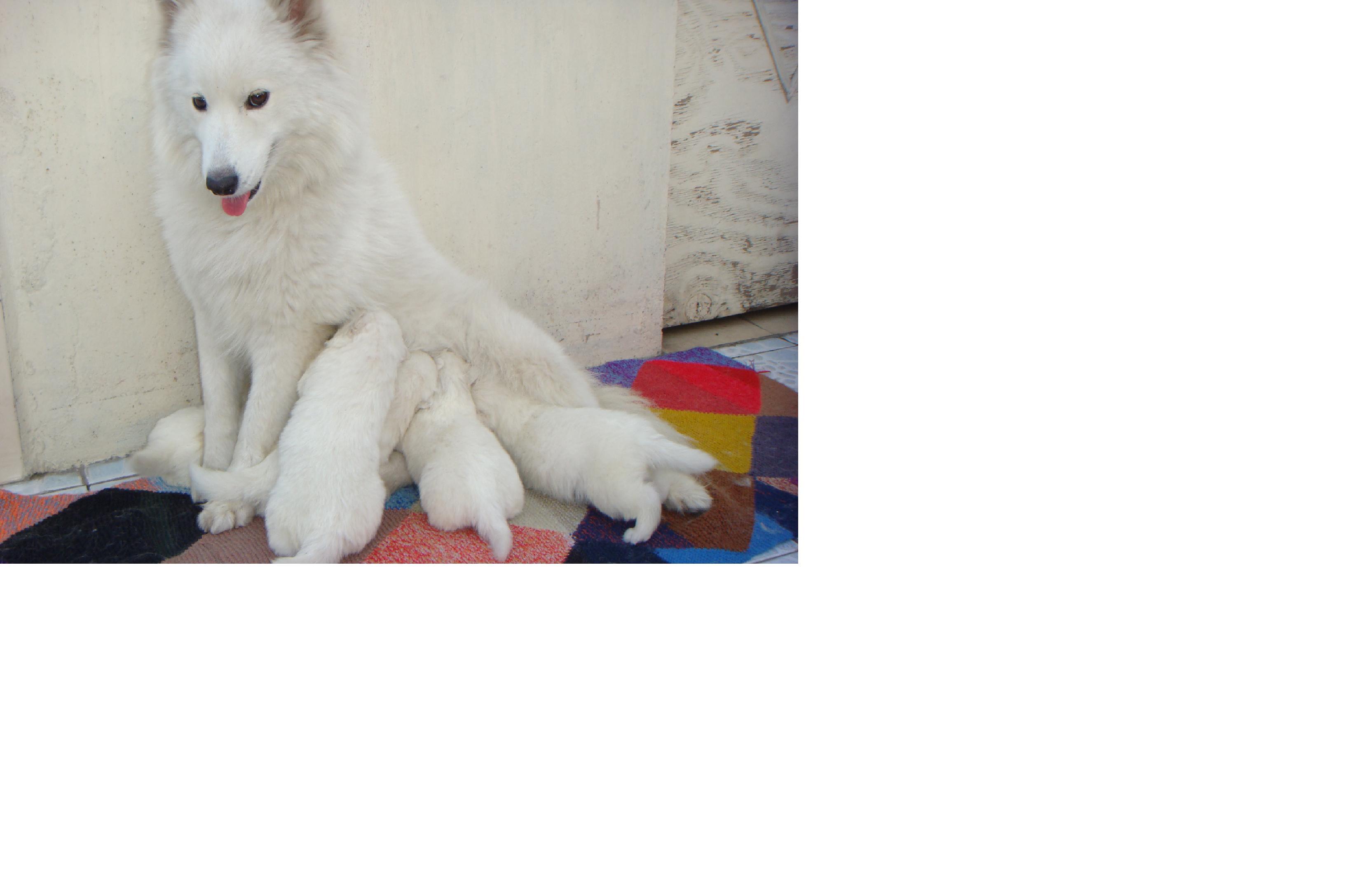 狗! 狗! 狗! 狗! 一群可爱的萨摩耶幼犬(有图)